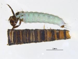 (Brachycentridae - BIOUG03297-F02)  @15 [ ] CreativeCommons - Attribution Non-Commercial Share-Alike (2013) Trevor Bringloe Centre for Biodiversity Genomics