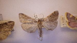 ( - LepVM347)  @11 [ ] Creative Commons – Attribution Non-Commercial Share-Alike (2014) NTNU University Museum, Department of Natural History NTNU University Museum, Department of Natural History