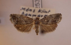 ( - LepVM1129)  @11 [ ] Creative Commons – Attribution Non-Commercial Share-Alike (2014) NTNU University Museum, Department of Natural History NTNU University Museum, Department of Natural History