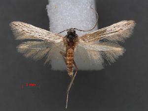 (Coleophora viettella - RMNH.INS.537665)  @11 [ ] CreativeCommons - Attribution Non-Commercial Share-Alike (2012) Unspecified Naturalis, Biodiversity Centre