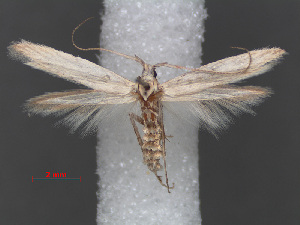 (Coleophora sudanella - RMNH.INS.537687)  @11 [ ] CreativeCommons - Attribution Non-Commercial Share-Alike (2012) Unspecified Naturalis, Biodiversity Centre