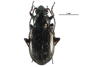 (Bembidion punctatostriatum - CCDB-28934-D07)  @11 [ ] CreativeCommons - Attribution Non-Commercial Share-Alike (2015) BIO Photography Group Biodiversity Institute of Ontario