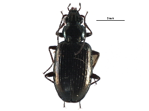 (Bembidion honestum - CCDB-28934-D08)  @11 [ ] CreativeCommons - Attribution Non-Commercial Share-Alike (2015) BIO Photography Group Biodiversity Institute of Ontario
