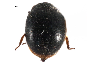 (Scymnus puncticollis - CCDB-28934-E04)  @11 [ ] CreativeCommons - Attribution Non-Commercial Share-Alike (2015) BIO Photography Group Biodiversity Institute of Ontario