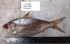 (Hilsa - LQDWL-TIS-30-12-2013-026)  @14 [ ] Copyright (2014) Guarat Biodiversity Gene Bank, GSBTM, DST, GoG Guarat Biodiversity Gene Bank, GSBTM, DST, GoG