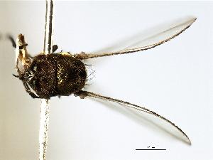 (Simulium jujuyense - SIM-CANADA-480)  @12 [ ] CreativeCommons - Attribution Non-Commercial Share-Alike (2009) BIO Photography Group Biodiversity Institute of Ontario