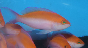 (Pseudanthias bicolor - fw15pb)  @11 [ ] CreativeCommons - Attribution Non-Commercial Share-Alike (2015) Benjamin Victor Benjamin Victor