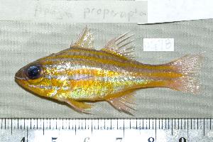 (Apogon properuptus - UG0078)  @14 [ ] CreativeCommons - Attribution Non-Commercial Share-Alike (2009) BIO Photography Group Biodiversity Institute of Ontario