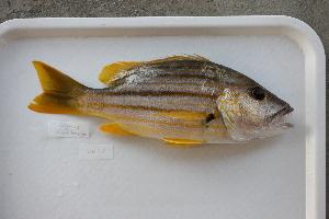 (Lutjanus carponotatus - UG0013)  @13 [ ] CreativeCommons - Attribution Non-Commercial Share-Alike (2009) BIO Photography Group Biodiversity Institute of Ontario