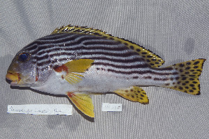 (Plectorhinchus lineatus - UG0246)  @15 [ ] CreativeCommons - Attribution Non-Commercial Share-Alike (2009) Unspecified Biodiversity Institute of Ontario