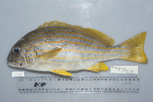 (Plectorhinchus chrysotaenia - UG0248)  @11 [ ] CreativeCommons - Attribution Non-Commercial Share-Alike (2009) Unspecified Biodiversity Institute of Ontario