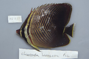 (Chaetodon baronessa - UG0251)  @14 [ ] CreativeCommons - Attribution Non-Commercial Share-Alike (2009) BIO Photography Group Biodiversity Institute of Ontario