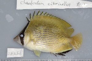 (Chaetodon citrinellus - UG0256)  @14 [ ] CreativeCommons - Attribution Non-Commercial Share-Alike (2009) BIO Photography Group Biodiversity Institute of Ontario