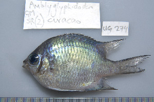 (Amblyglyphidodon curacao - UG0274)  @14 [ ] CreativeCommons - Attribution Non-Commercial Share-Alike (2009) CBG Photography Group Centre for Biodiversity Genomics