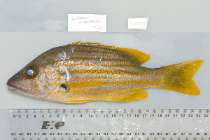 (Lutjanus carponotatus - UG0553)  @13 [ ] CreativeCommons - Attribution Non-Commercial Share-Alike (2009) BIO Photography Group Biodiversity Institute of Ontario