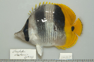 (Chaetodon ulietensis - UG0557)  @14 [ ] CreativeCommons - Attribution Non-Commercial Share-Alike (2009) BIO Photography Group Biodiversity Institute of Ontario