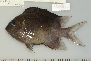 (Acanthochromis polyacanthus - UG0594)  @13 [ ] CreativeCommons - Attribution Non-Commercial Share-Alike (2009) CBG Photography Group Centre for Biodiversity Genomics