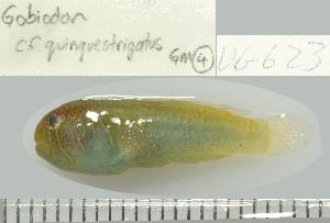 (Gobiodon cf. quinquestrigatus - UG0623)  @11 [ ] CreativeCommons - Attribution Non-Commercial Share-Alike (2009) Unspecified Biodiversity Institute of Ontario