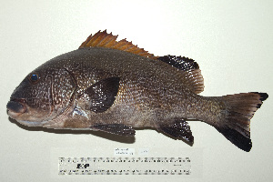 (Plectorhinchus albovittatus - UG0636)  @14 [ ] CreativeCommons - Attribution Non-Commercial Share-Alike (2009) Unspecified Biodiversity Institute of Ontario