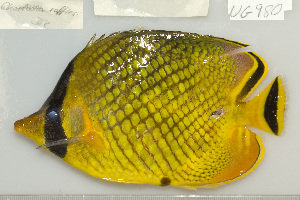 (Chaetodon rafflesii - UG0980)  @13 [ ] CreativeCommons - Attribution Non-Commercial Share-Alike (2009) BIO Photography Group Biodiversity Institute of Ontario