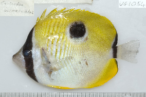 (Chaetodon unimaculatus - UG1054)  @14 [ ] CreativeCommons - Attribution Non-Commercial Share-Alike (2009) BIO Photography Group Biodiversity Institute of Ontario