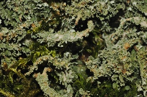 (Cladonia squamosa - LC-069)  @11 [ ] by-nc-sa (2014) Christoph Scheidegger WSL Swiss Federal Research