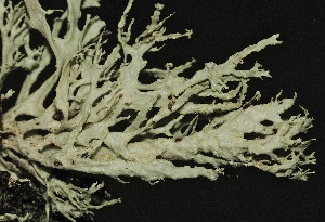 (Ramalina pollinaria - LC-093)  @11 [ ] by-nc-sa (2014) Christoph Scheidegger WSL Swiss Federal Research