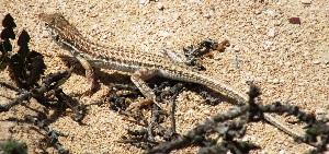 (Acanthodactylus - AMC013_1)  @11 [ ] Copyright (2015) Aitor Valdeon University of Zaragoza, Spain