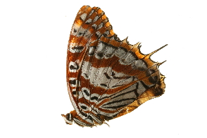 (Charaxes andranodorus andrefana - AC0113-8000675)  @12 [ ] CreativeCommons - Attribution Non-Commercial Share-Alike (2010) BIO Photography Group Biodiversity Institute of Ontario