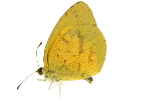 (Eurema brigitta pulchella - AC0282-8033847)  @14 [ ] CreativeCommons - Attribution Non-Commercial Share-Alike (2010) CBG Photography Group Centre for Biodiversity Genomics