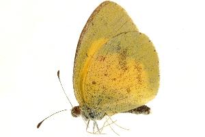 (Eurema brigitta pulchella - AC0283-8033862)  @14 [ ] CreativeCommons - Attribution Non-Commercial Share-Alike (2010) CBG Photography Group Centre for Biodiversity Genomics