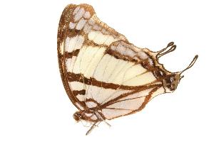 (Charaxes zoolina betsimisaraka - AC0365-8000813)  @13 [ ] CreativeCommons - Attribution Non-Commercial Share-Alike (2010) BIO Photography Group Biodiversity Institute of Ontario