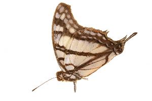 (Charaxes zoolina betsimisaraka - AC0367-8000728)  @13 [ ] CreativeCommons - Attribution Non-Commercial Share-Alike (2010) Unspecified Biodiversity Institute of Ontario