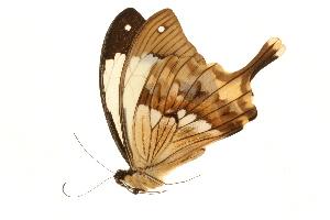 (Papilio dardanus meriones - AC0394-8034755)  @13 [ ] CreativeCommons - Attribution Non-Commercial Share-Alike (2010) Unspecified Biodiversity Institute of Ontario