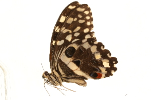 (Papilio demodocus demodocus - AC0411-8001678)  @12 [ ] CreativeCommons - Attribution Non-Commercial Share-Alike (2010) Unspecified Biodiversity Institute of Ontario