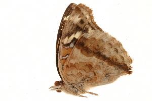 (Junonia oenone epiclelia - AC0464-8000797)  @12 [ ] CreativeCommons - Attribution Non-Commercial Share-Alike (2010) BIO Photography Group Biodiversity Institute of Ontario