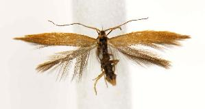 (Coleophora brunneipennis - BIRD13241)  @15 [ ] Copyright (2007) Jean-Francois Landry Canadian National Collection