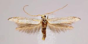 (Coleophora tiliaefoliella - CNCLEP00024697)  @15 [ ] Copyright (2007) Jean-Francois Landry Canadian National Collection
