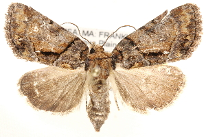 (Noctuinae - CCDB-28564-F09)  @16 [ ] CreativeCommons - Attribution Non-Commercial Share-Alike (2015) BIO Photography Group Biodiversity Institute of Ontario