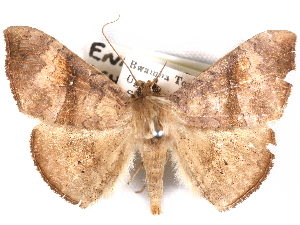 (Enmonodiops - CCDB-29455-F08)  @11 [ ] CreativeCommons - Attribution Non-Commercial Share-Alike (2017) CBG Photography Group Centre for Biodiversity Genomics