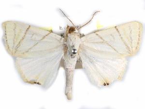 (Leoniloma - CCDB-29456-E02)  @11 [ ] CreativeCommons - Attribution Non-Commercial Share-Alike (2017) CBG Photography Group Centre for Biodiversity Genomics