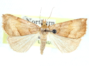 (Paragabara - CCDB-29481-D11)  @11 [ ] CreativeCommons - Attribution Non-Commercial Share-Alike (2017) CBG Photography Group Centre for Biodiversity Genomics