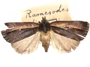 (Ramesodes - CCDB-29481-H02)  @11 [ ] CreativeCommons - Attribution Non-Commercial Share-Alike (2017) CBG Photography Group Centre for Biodiversity Genomics