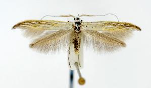 (Coleophora lixella - CNCLEP00020195)  @14 [ ] CreativeCommons - Attribution Non-Commercial Share-Alike (2010) BIO Photography Group Biodiversity Institute of Ontario