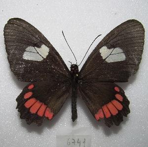 "(Parides erithalion erlaces - MACN-Bar-Lep-ct 06741)  @11 [ ] Copyright (2016) MACN Museo Argentino de Ciencias Naturales ""Bernardino Rivadavia"""