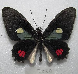 "(Parides erithalion - MACN-Bar-Lep-ct 07050)  @11 [ ] Copyright (2016) MACN Museo Argentino de Ciencias Naturales ""Bernardino Rivadavia"""