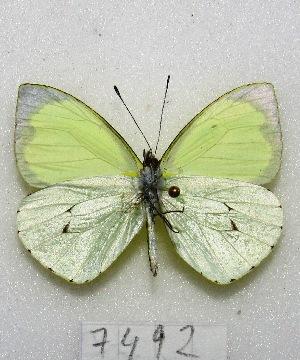 (Leptophobia diaguita - MACN-Bar-Lep-ct 07492)  @11 [ ] Copyright (2016) MACN Museo Argentino de Ciencias Naturales, Bernardino Rivadavia