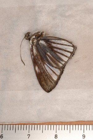 (Nymphidiinae - CLV113210)  @12 [ ] Copyright (2010) Unspecified Institut National de la Recherche Agronomique, Orleans, Forestry Zoology