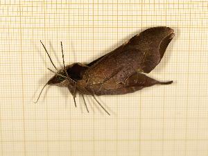 ( - CLV4739)  @11 [ ] Copyright (2012) Olivier Bouteleux Institut National de la Recherche Agronomique, Forestry Zoology