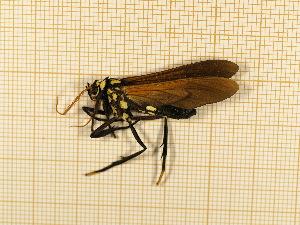 (Orcynia - CLV4758)  @12 [ ] Copyright (2012) Olivier Bouteleux Institut National de la Recherche Agronomique, Forestry Zoology